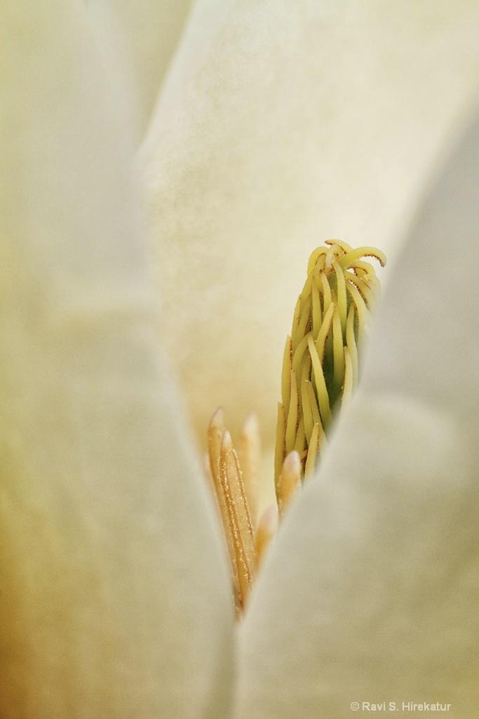 Yellow Magnolia Flower