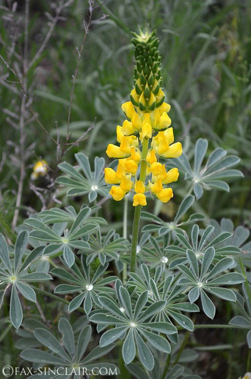 Lupin with Raindrops