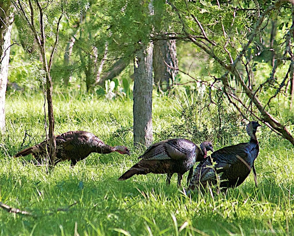 Rio Grand Turkeys