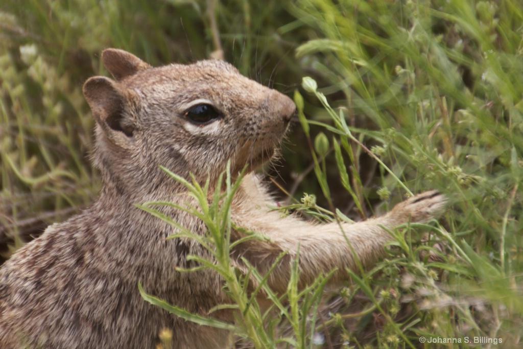 Grass Munching Squirrel