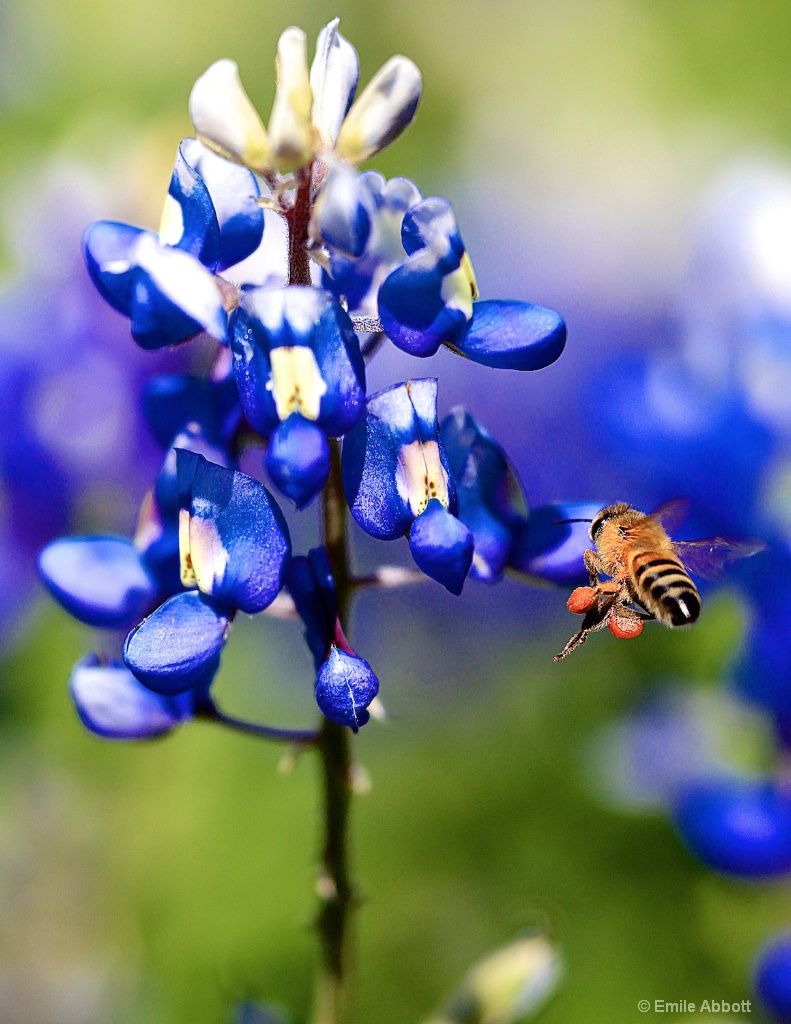 BLUEBONNET AND BEE