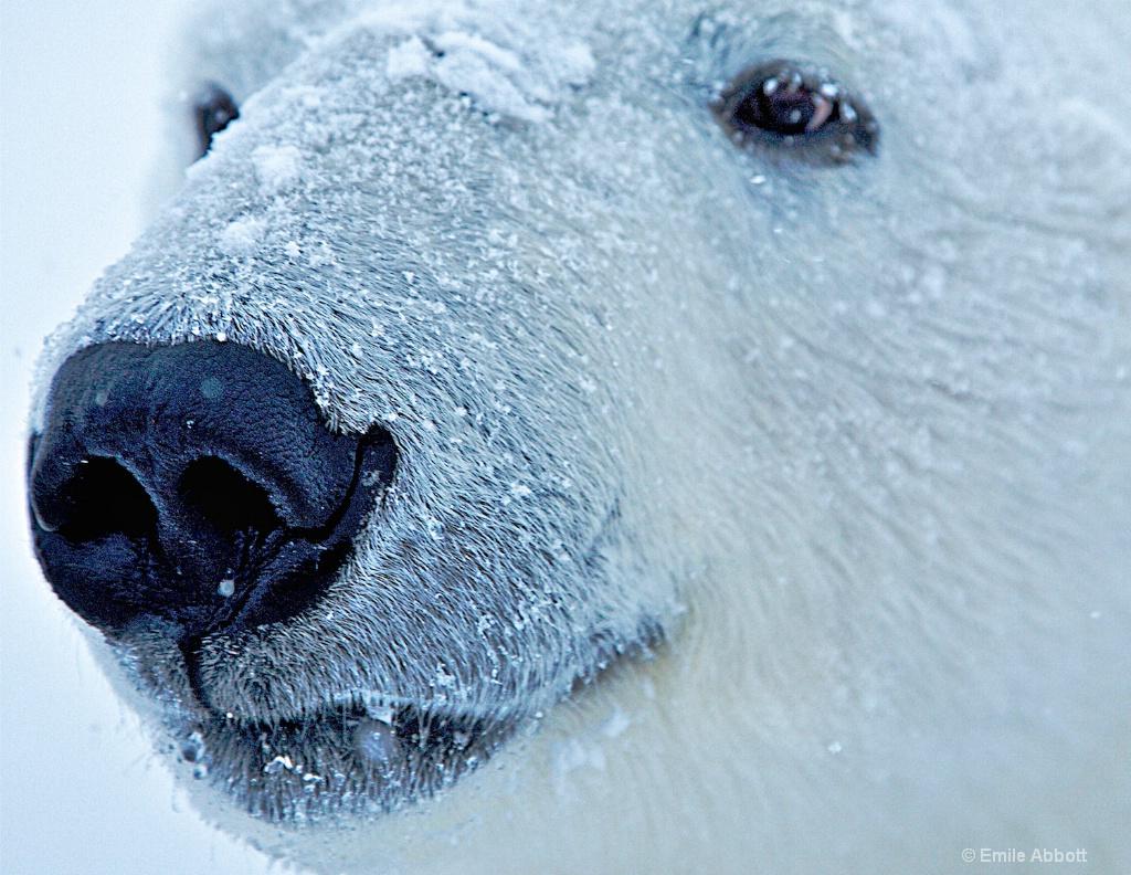 Polar Bear Up close and Personal.