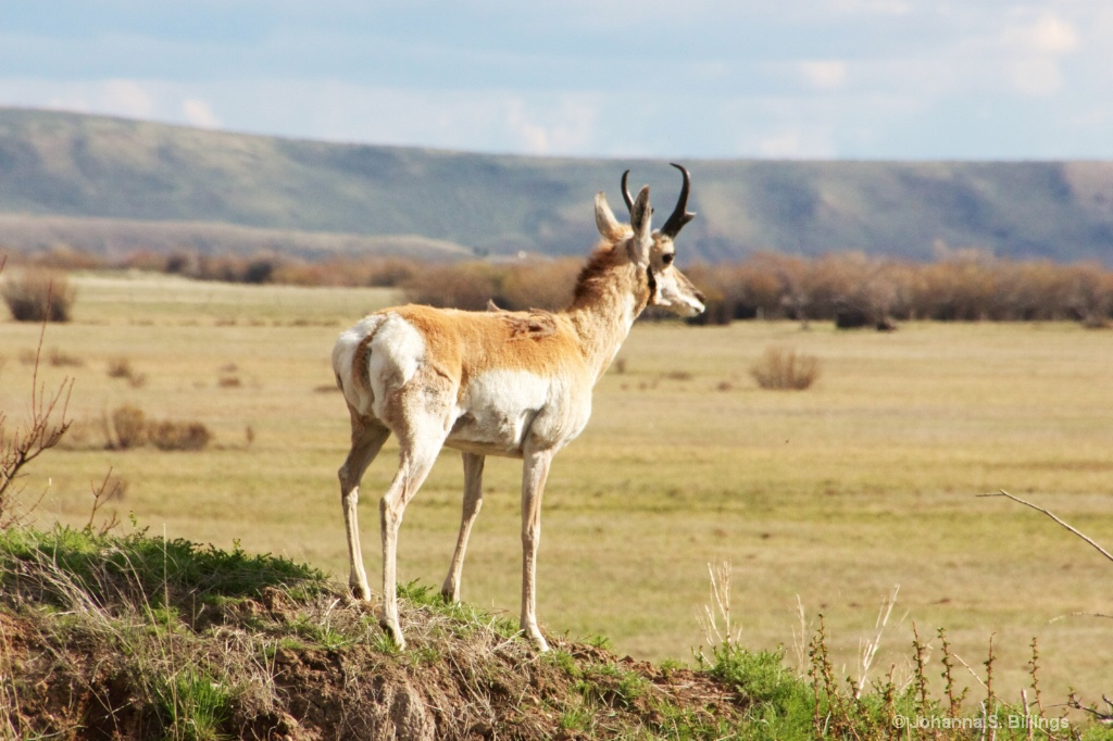 Antelope out West