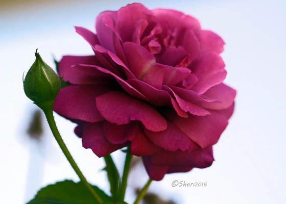 Ricks Rose