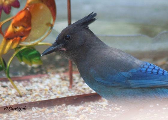 Mr. Blue Jay