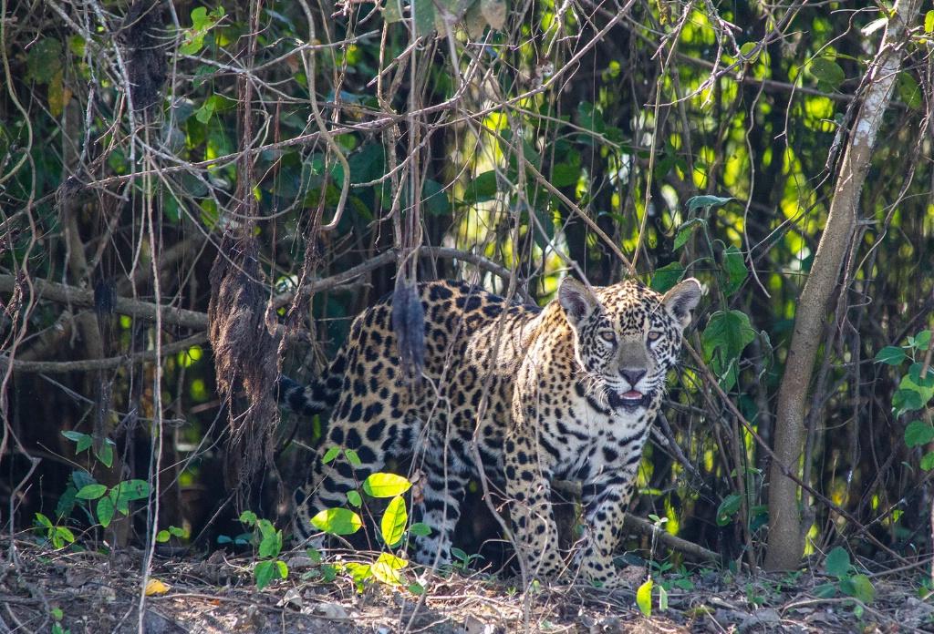 jaguar on river bank