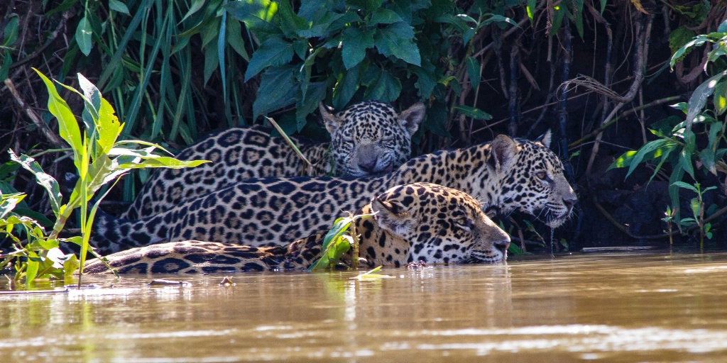 jaguar mother and two cubs hunting