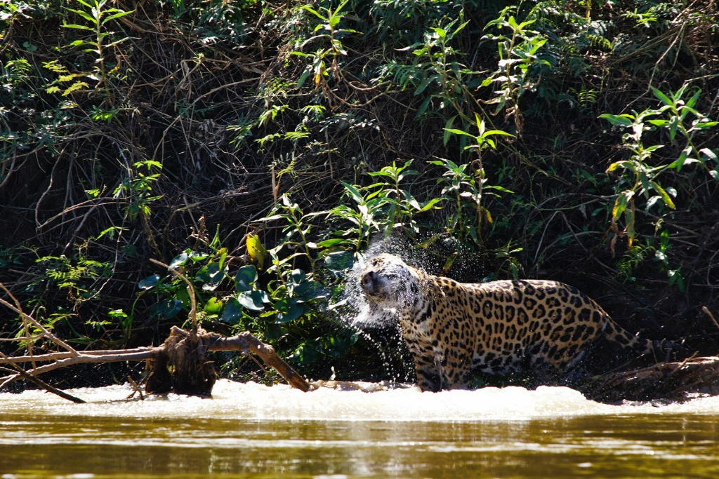 jaguar shaking of water after a plunge in the rive