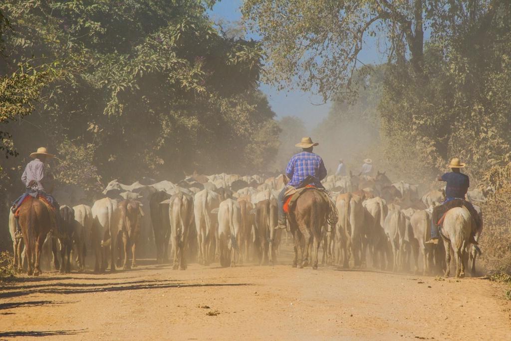 brazilian cattle drive