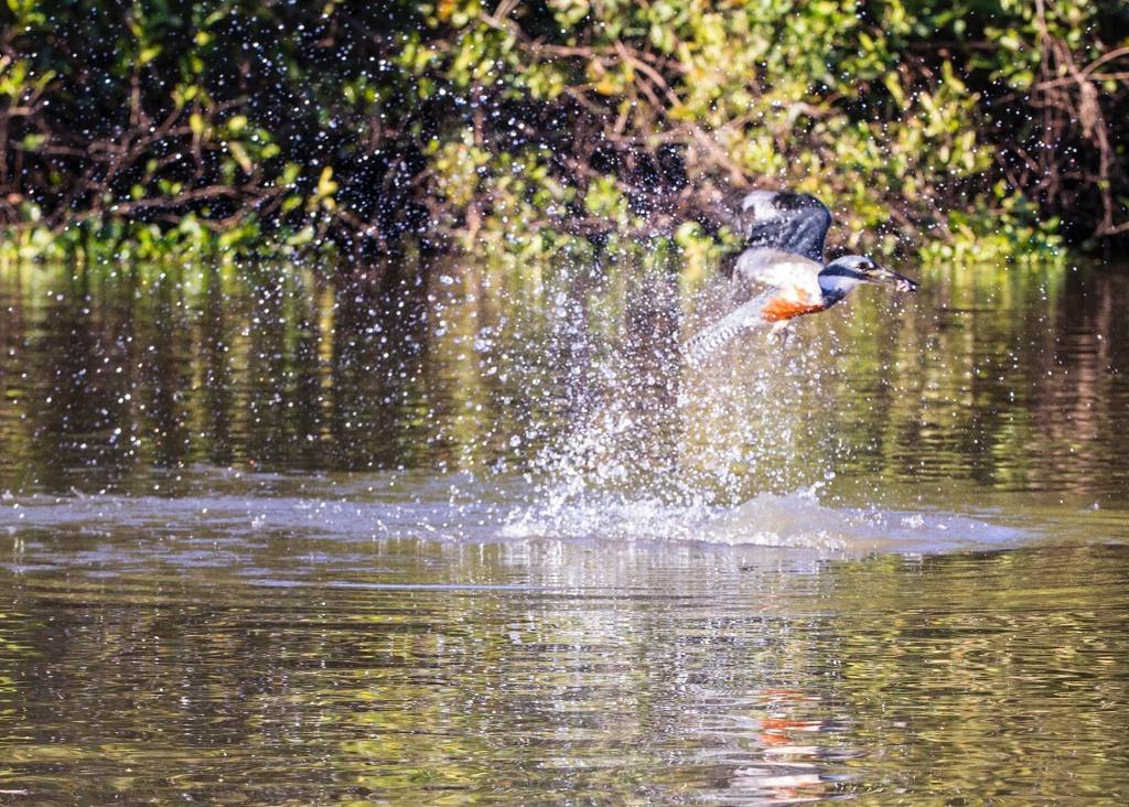 ringtail Kingfisher catching fish
