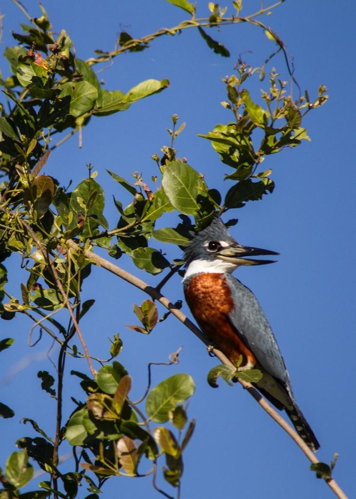 ring Tail Kingfisher