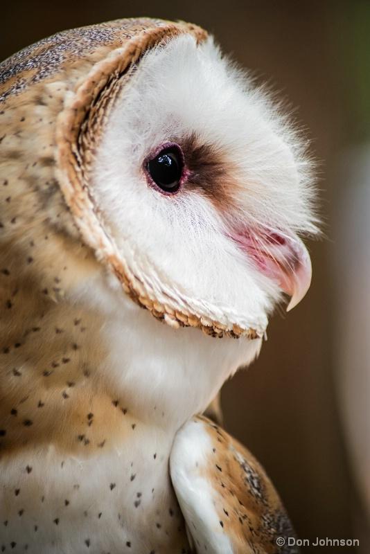Profile of a Barn Owl 8-14-16