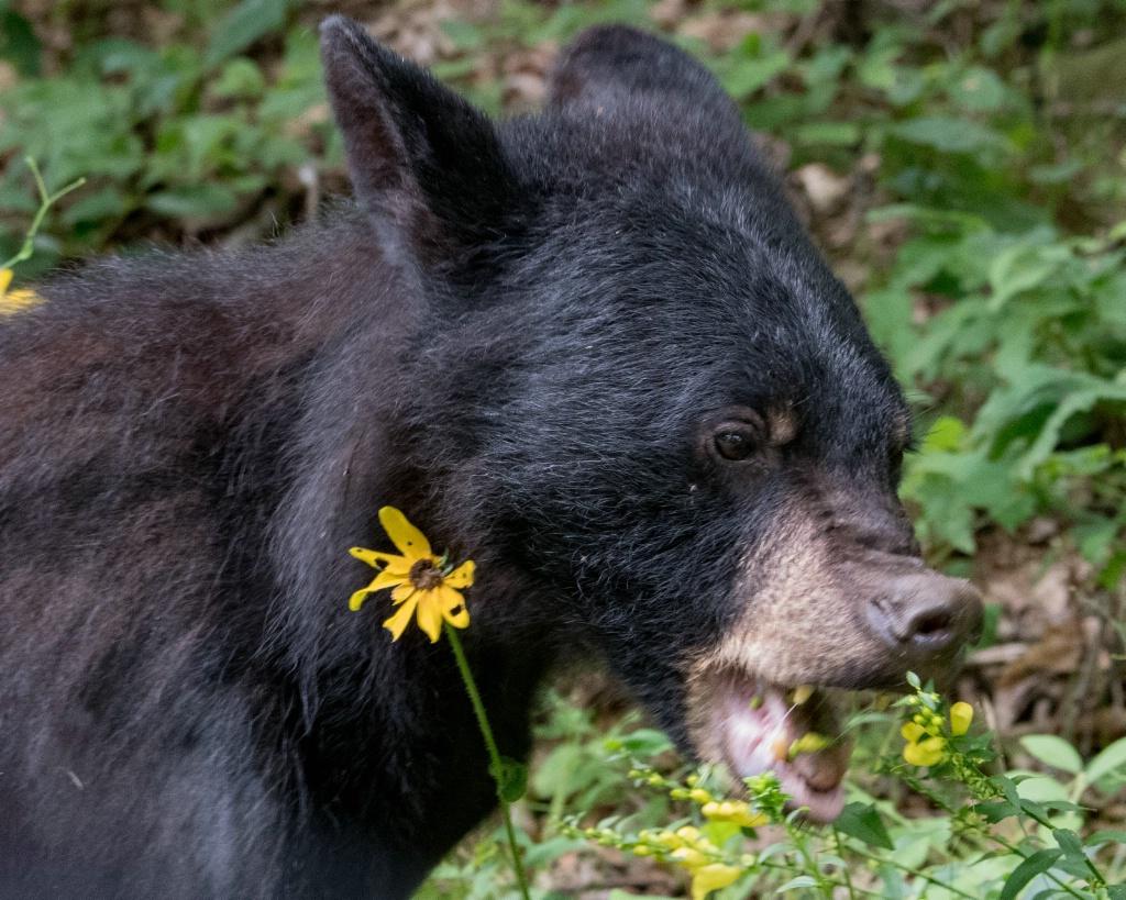 Hungry Hungry Bear