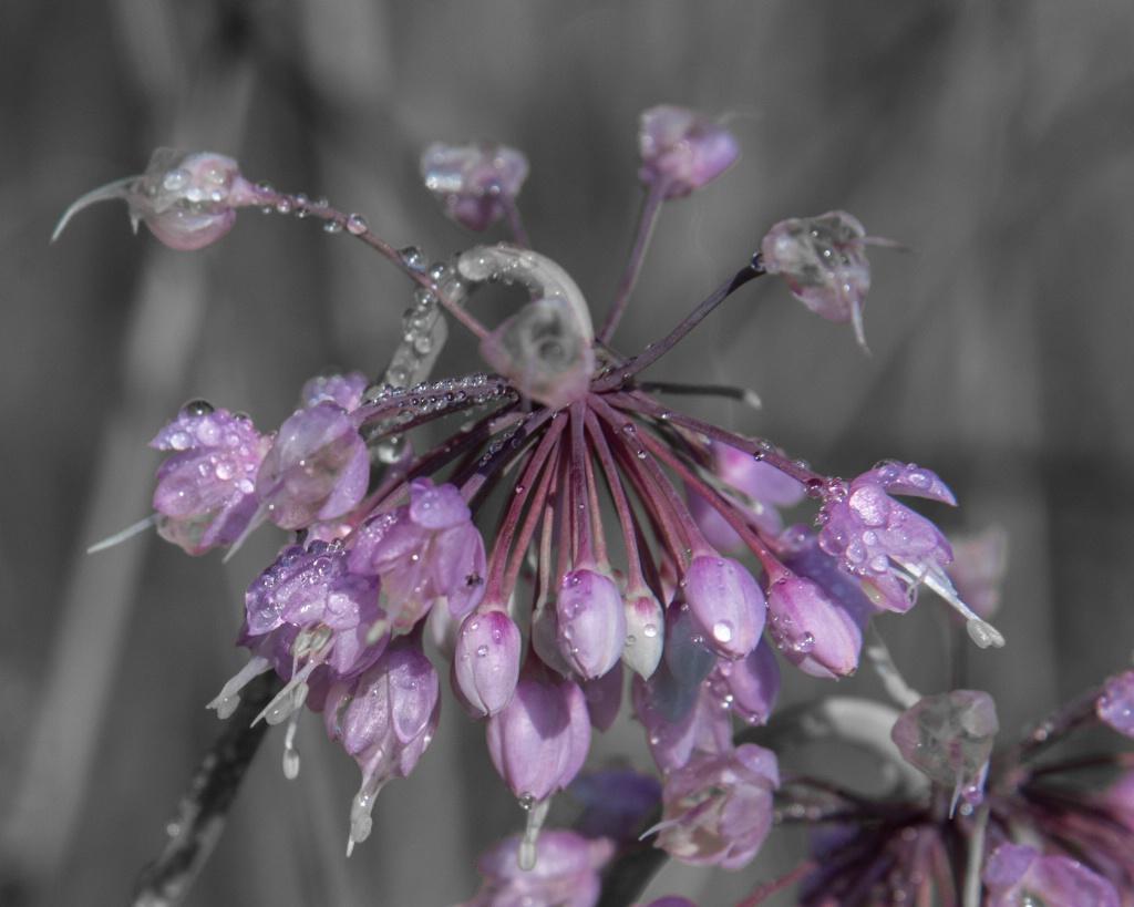 Raindrops on Purple Flower