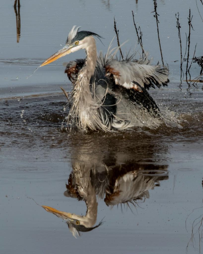 Great Blue Heron Bathing