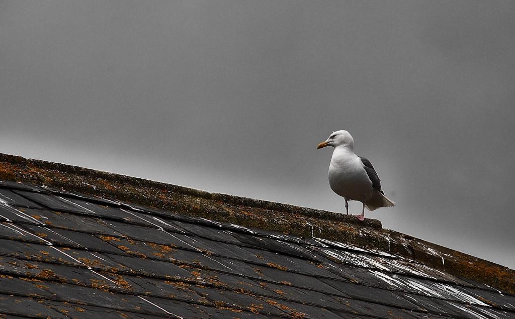 Gull in Rye