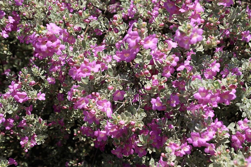Full frame floral Cenizo