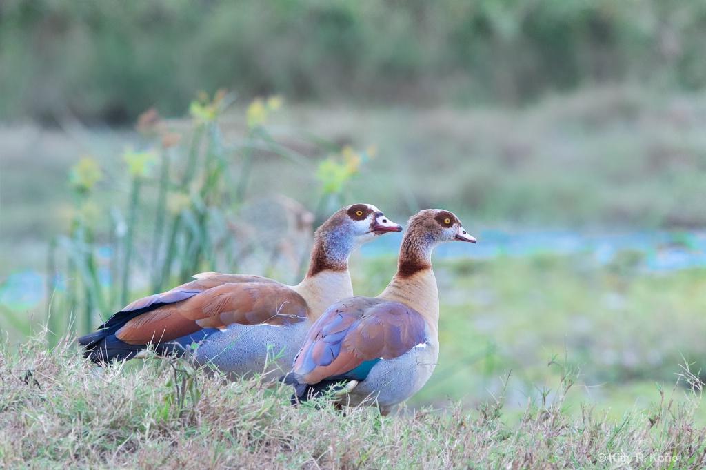 Egyptian Geese  in Masai Mara Kenya