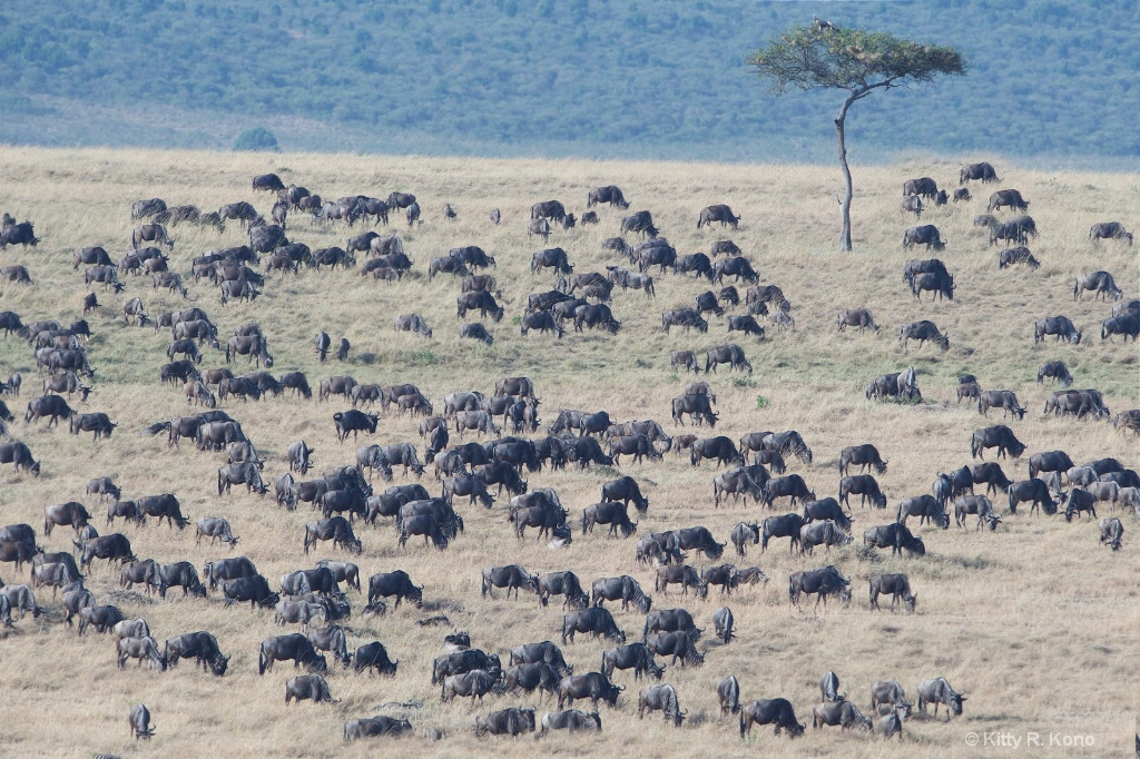 Lots of Wildebeests