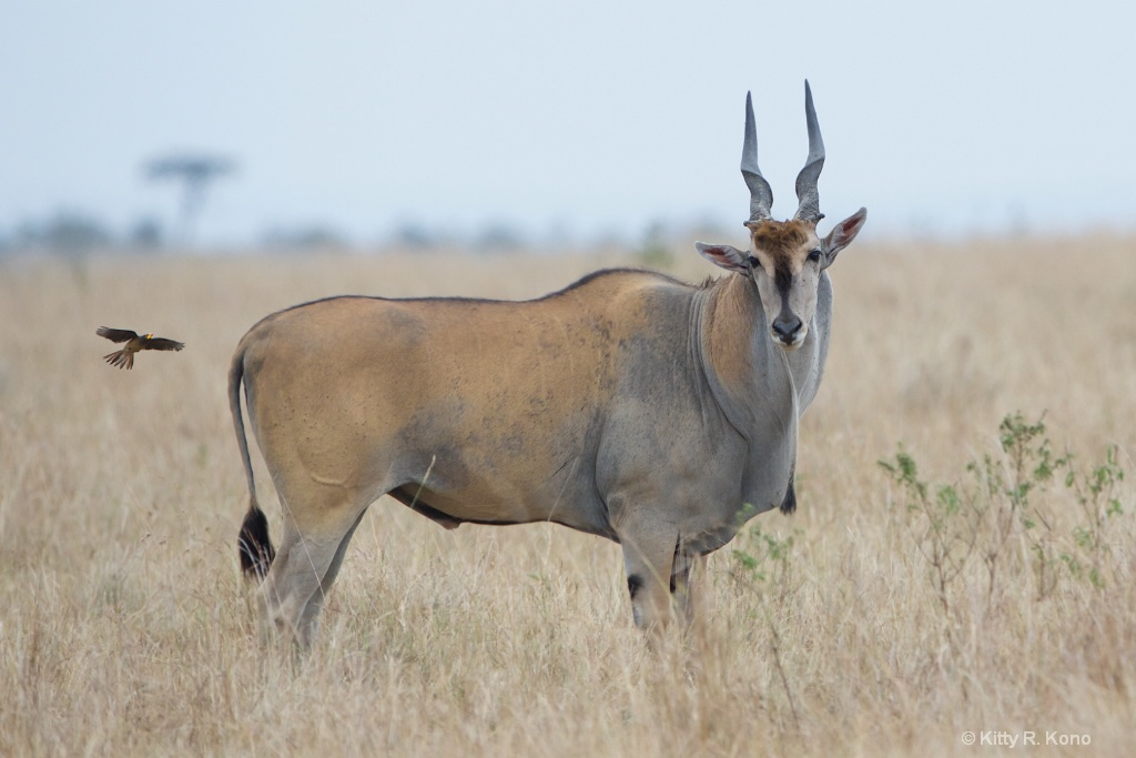 Eland with Incoming Oxpecker