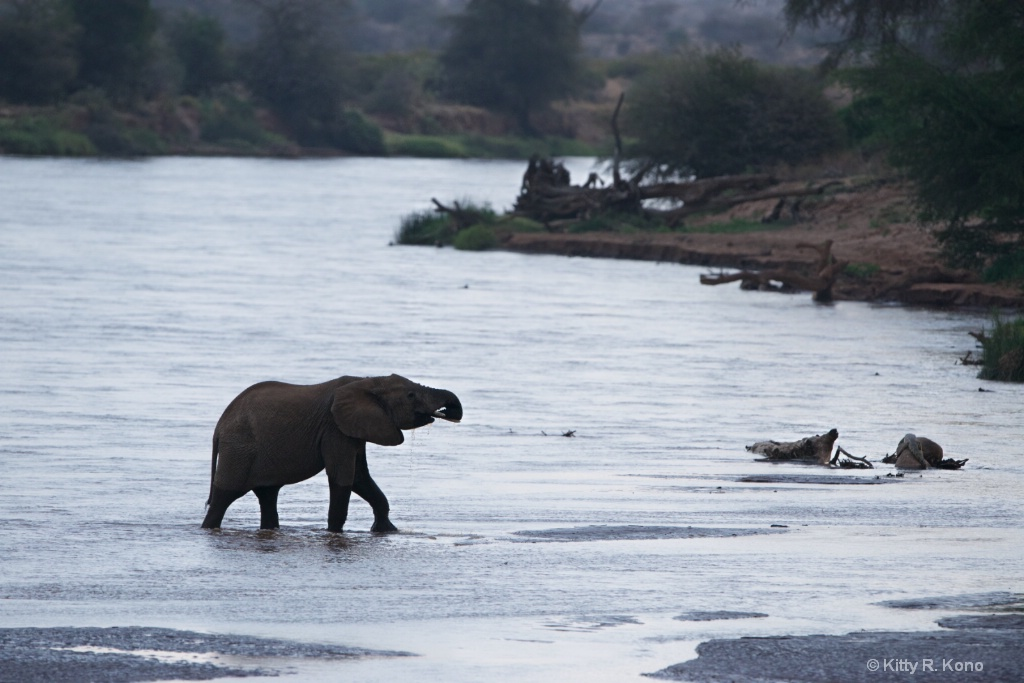 Elephant Taking a Drink at Dusk