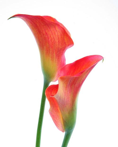 Tulip on white 5