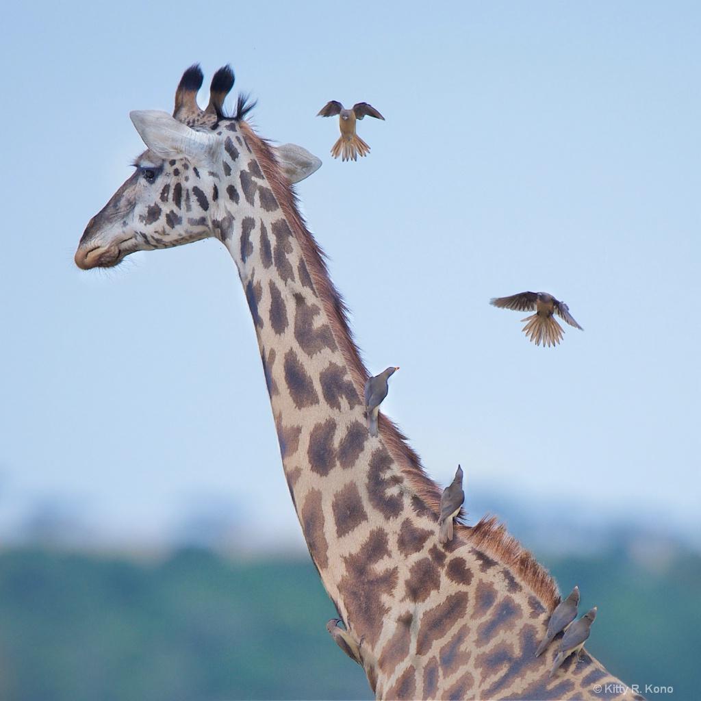 Giraffe and Oxpeckers in Samburu Kenya