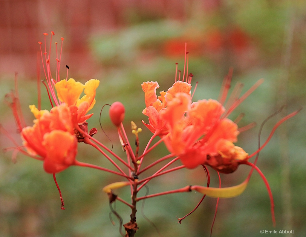 Caesalpinia bloom