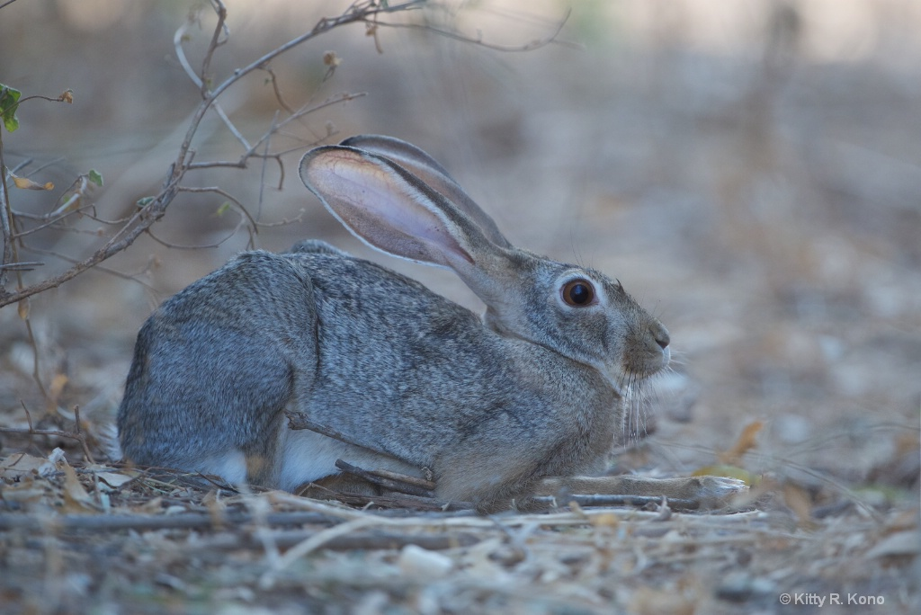 African Hare with a Twig Under His Arm