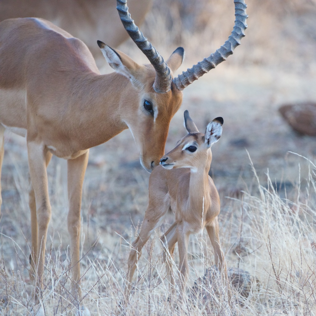 Baby Impala Are You My Dad