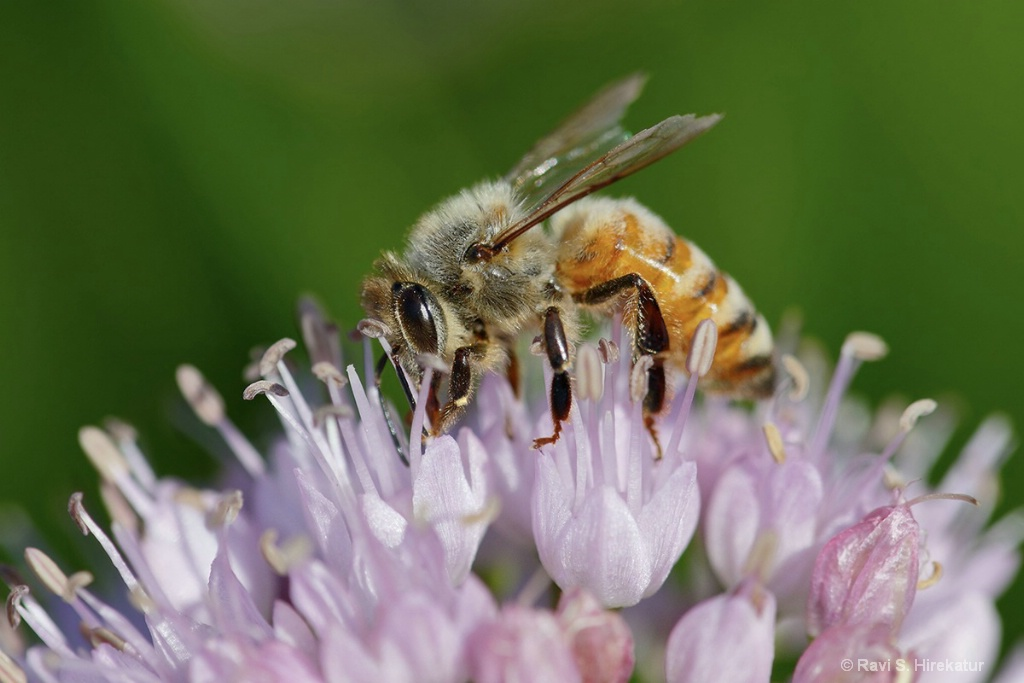 Honeybee on Chives Flower