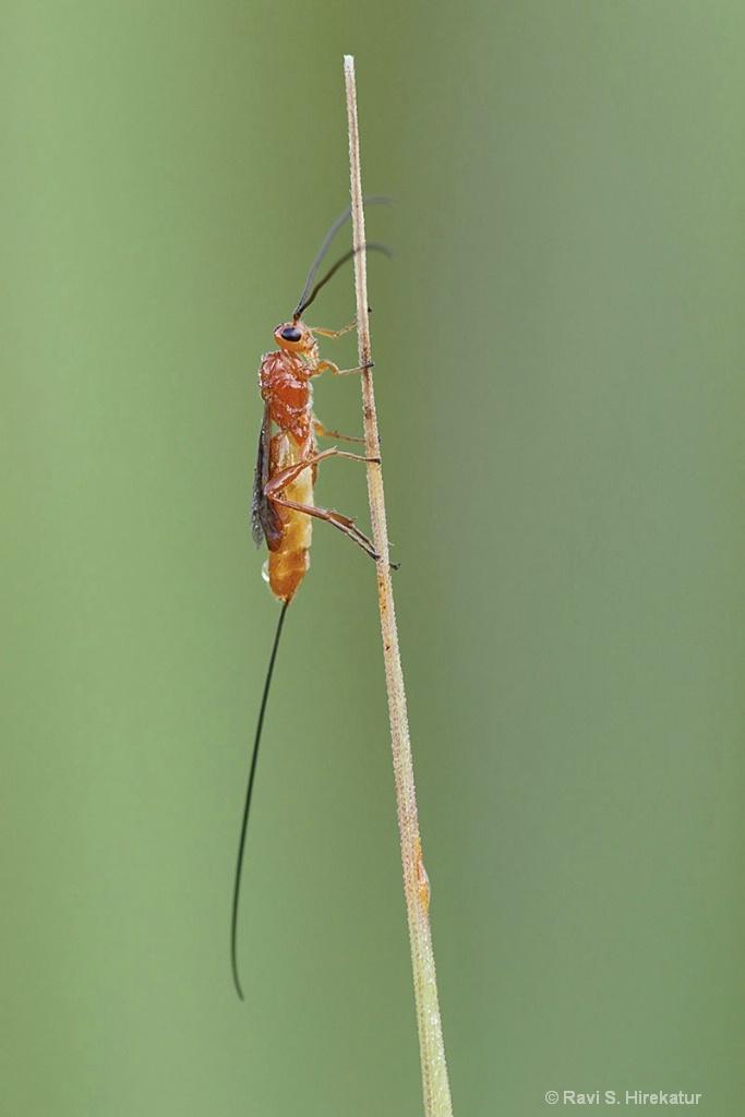 Brachonid Wasp