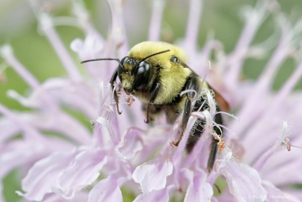Bumblebee on Bergamot Flower