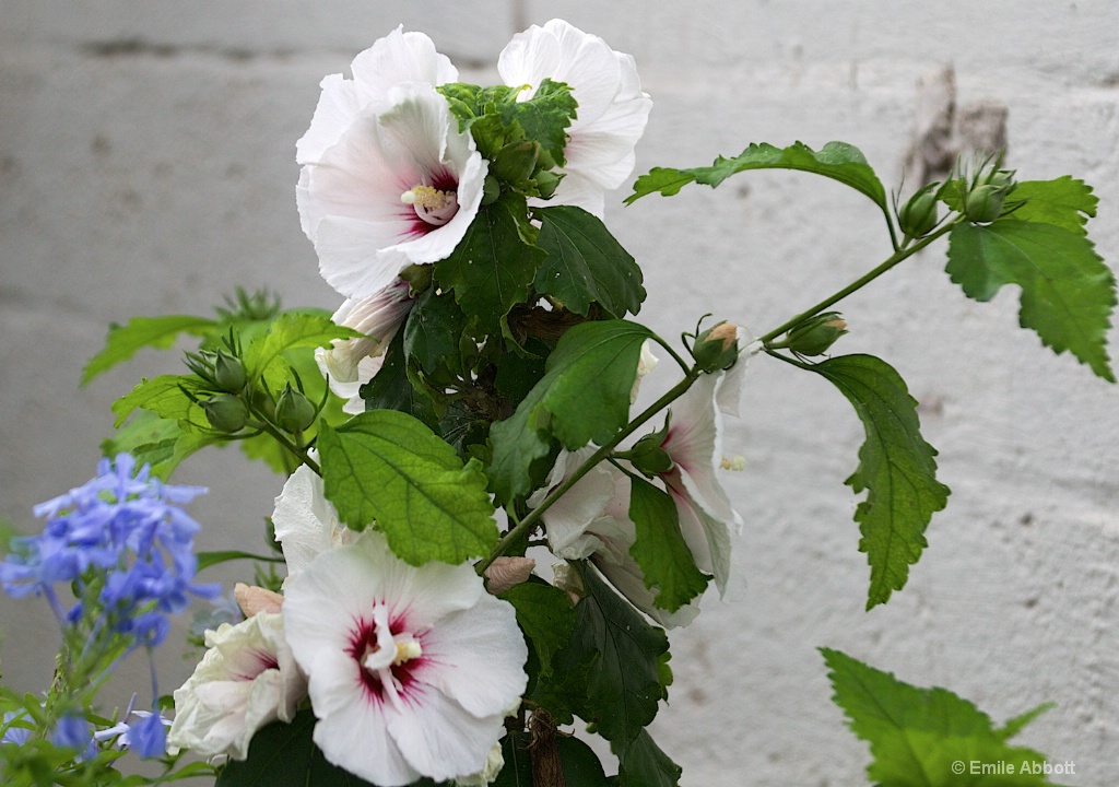 White Hibiscus and touch of blue
