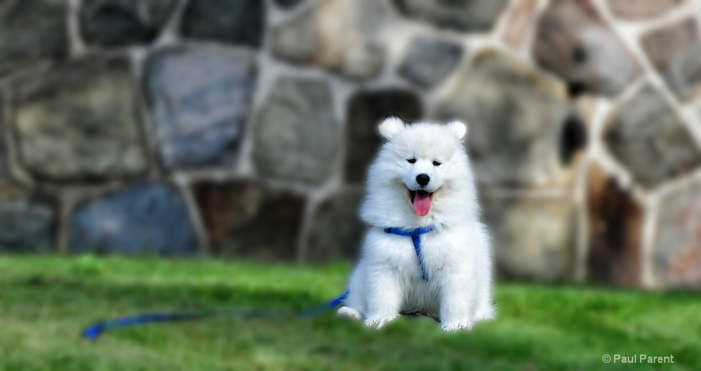 Dexter the Samoyed Dog