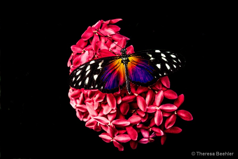 Pink Hydrangea with butterfly purple
