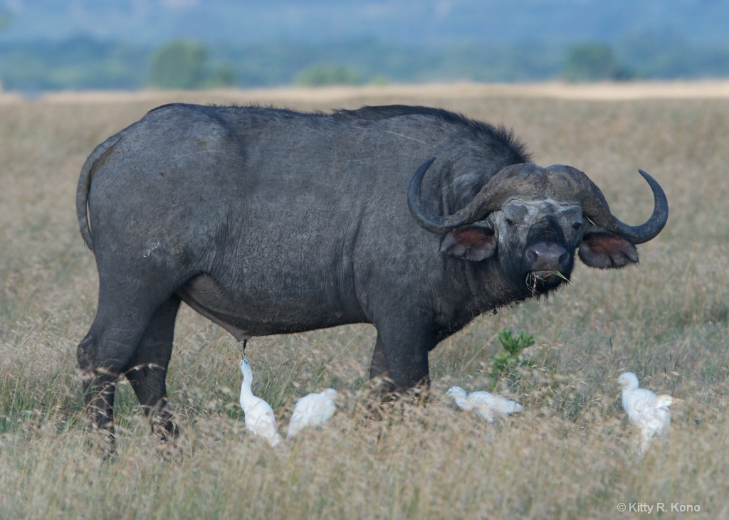 Water Buffalo and the Cattle Egret