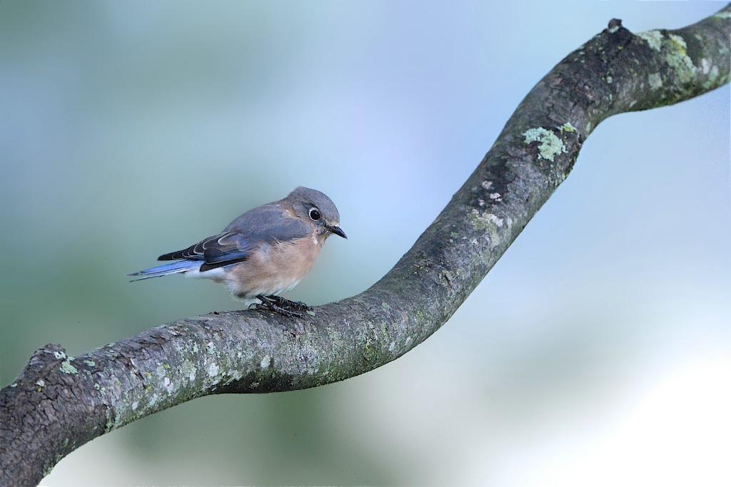 Heavily Caffeinated Bluebird