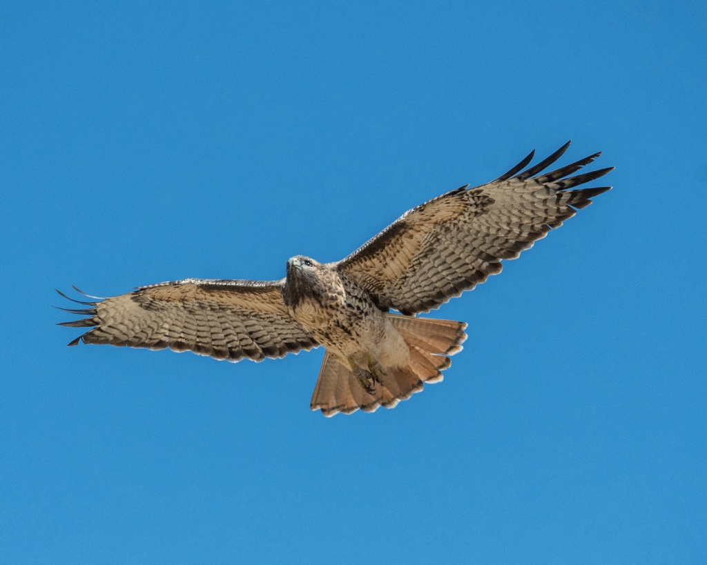 Hovering Red Tail Hawk