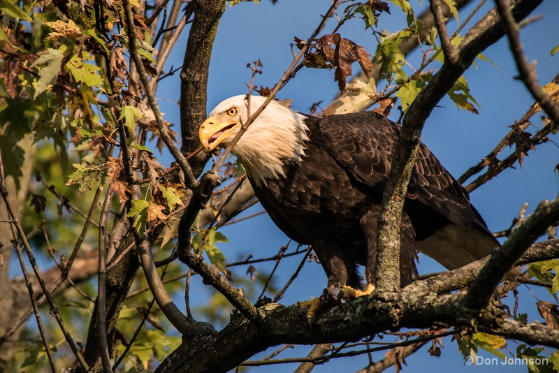 Eagle in Tree 10-22-16 386