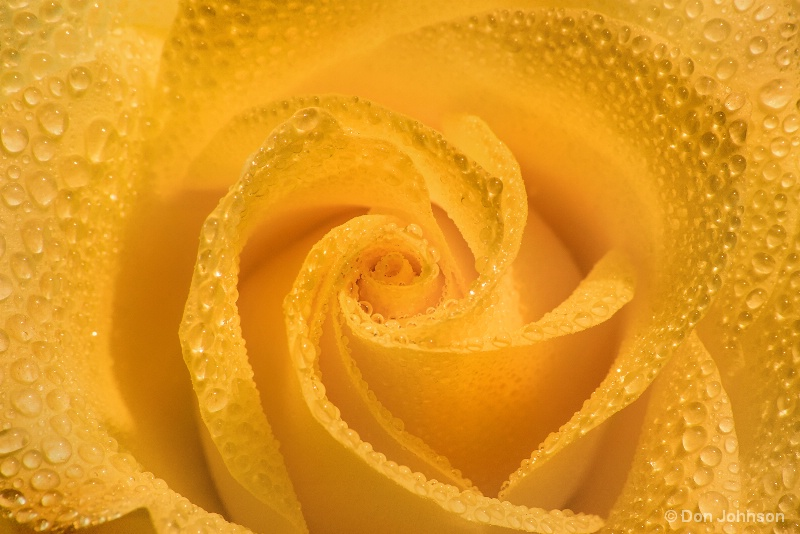 Rose with Dew 10-5-16 035