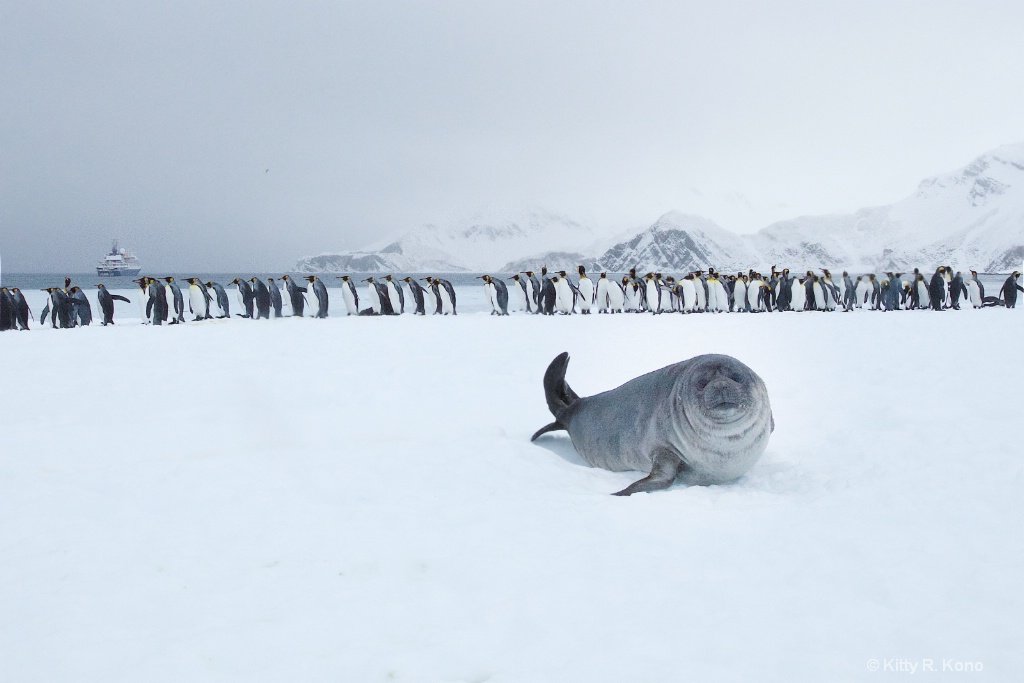 Fur Seal on Snow with Penguins