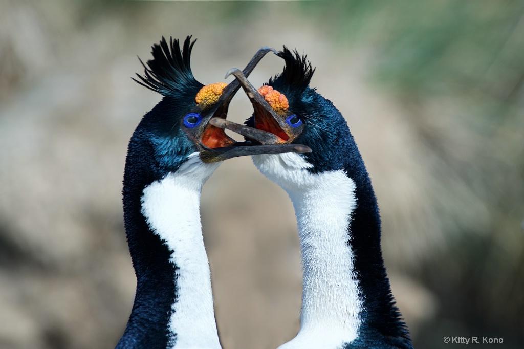 Blue Eyed Shags on Bird Island in South Georgia
