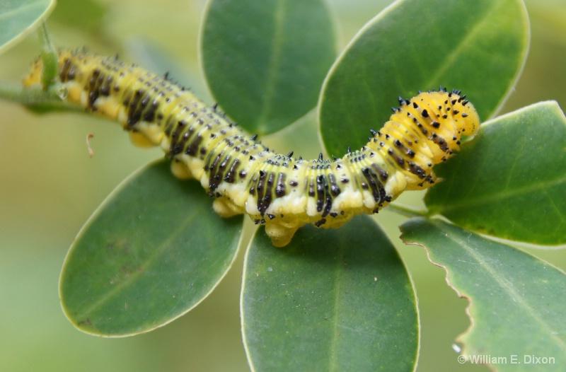 Orange Barred Sulphur Caterpillar