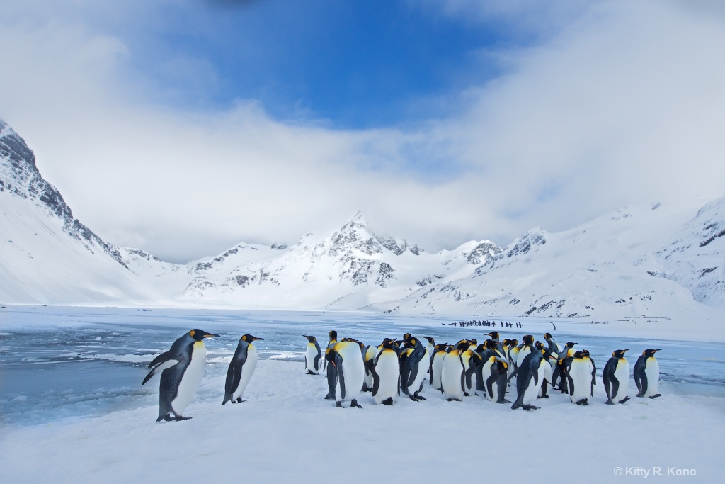 Lots of King Penguins on Right Whale Bay in South