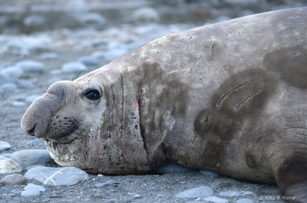 The Bull Elephant Seal and His Many Scars