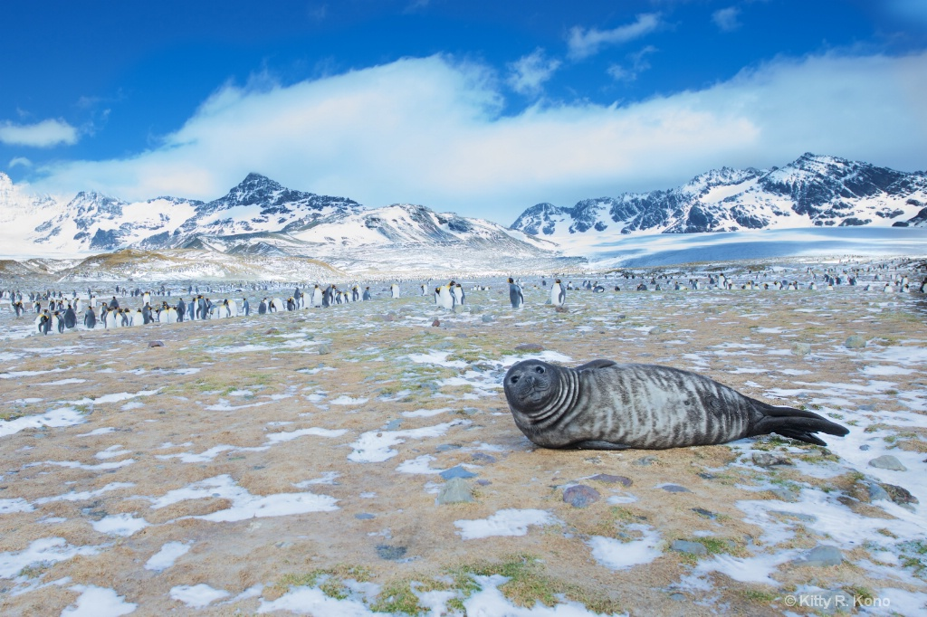 Fur Seal and King Penguins
