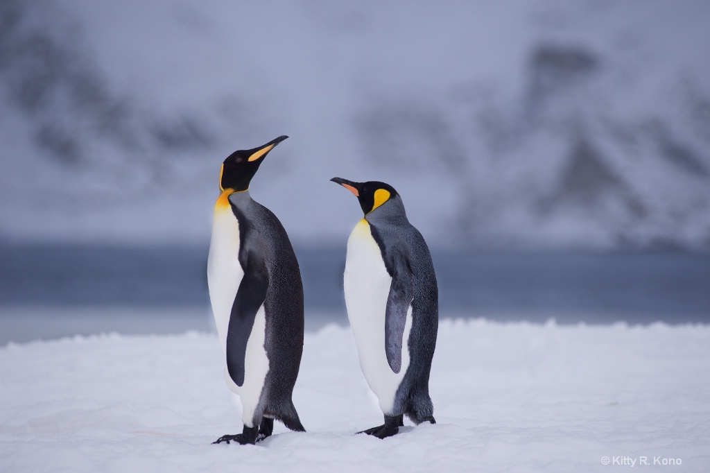 Two  King Penguins Right Whale Bay
