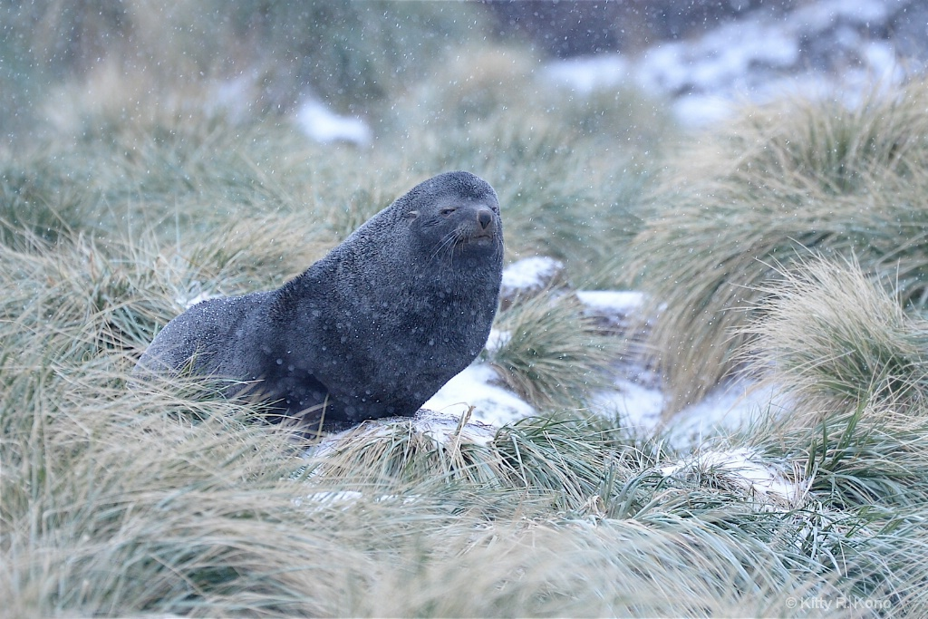 Wise Old Fur Seal in the Tussocks