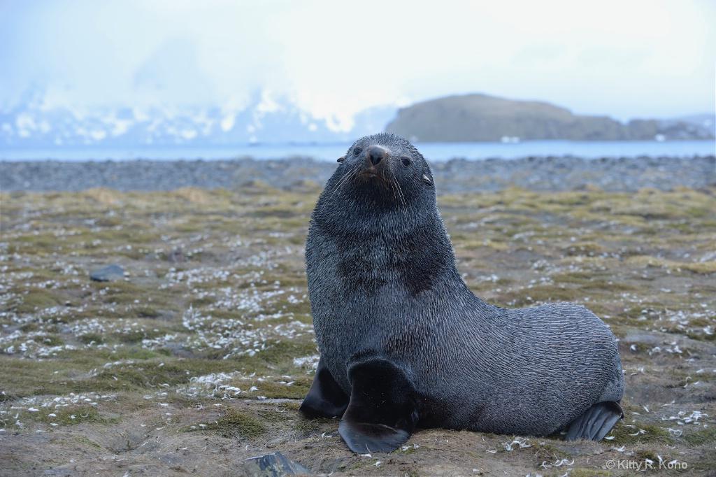 Fur Seal Salisbury Plain